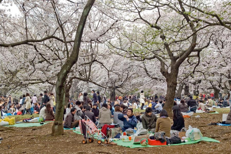 Hanamipiknik levittäytyy keväällä jokaiseen puistoon. Kuva: elmimmo, flickr.com