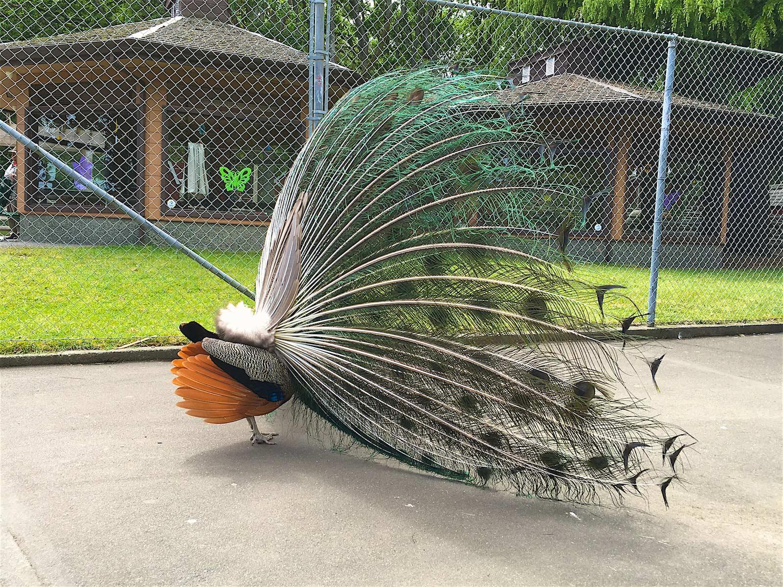 Upea Beacon Hill Park on kaupungin elämänlanka. Keskellä puistoa on edullinen kotieläinpuisto, jonka edustalla tepastelevat riikinkukot. (c) Alex Kampion/tripsteri.fi