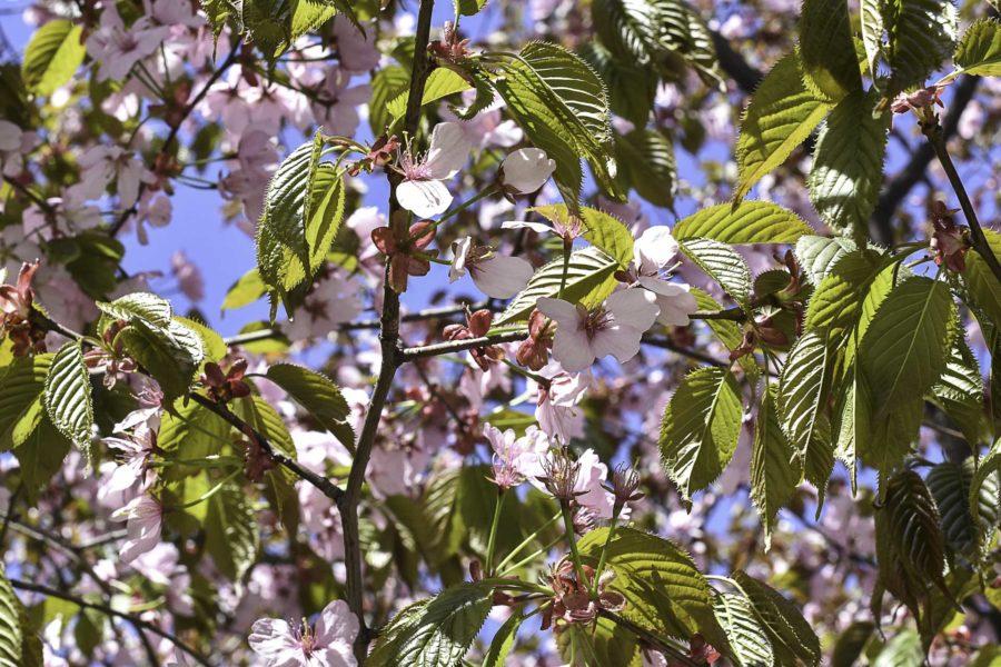 Kirsikkapuut kukkivat Hornstullissa. Kuva: ©Soile Vauhkonen