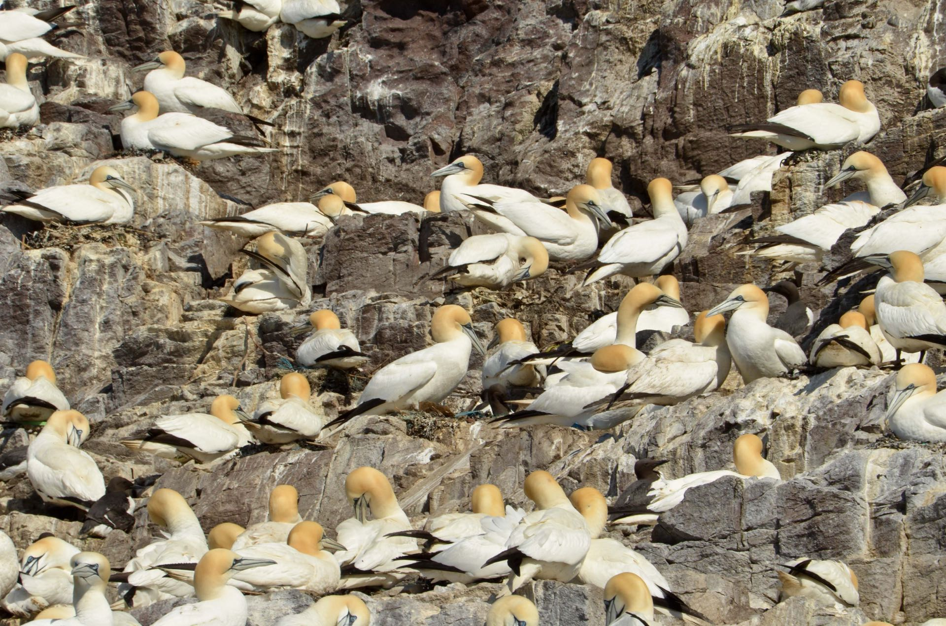 Suulat peittävät Bass Rockin kalliosaaren. Kuva: ©sk, Flickr.com CC BY-ND 2.0